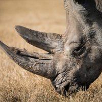 rhinoceros 768714 640